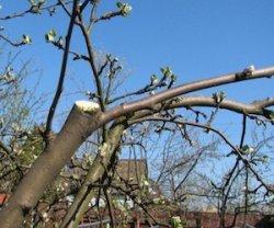 Зачем обрывать цветки молодого саженца яблони